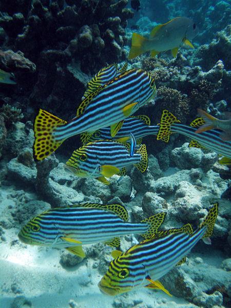 Maldives_Oriental_sweetlips,_Plectorhinchus_vittatus