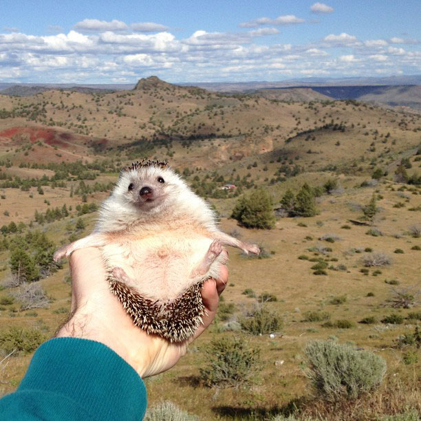 biddy the hedgehog world traveler instagram (3)
