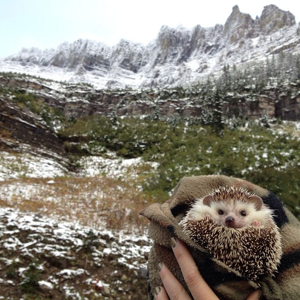biddy the hedgehog world traveler instagram (5)
