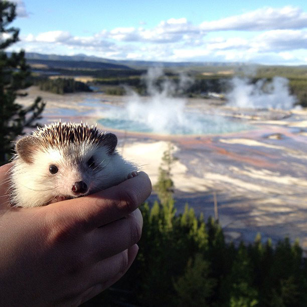 biddy the hedgehog world traveler instagram (7)